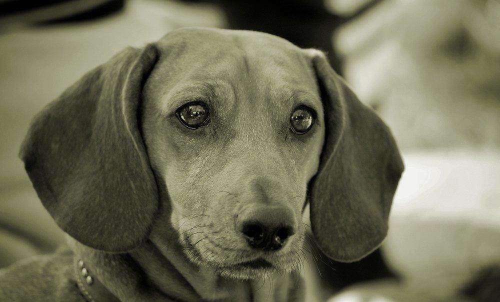 собака, друг, чб, взгляд, Евгений Смердов