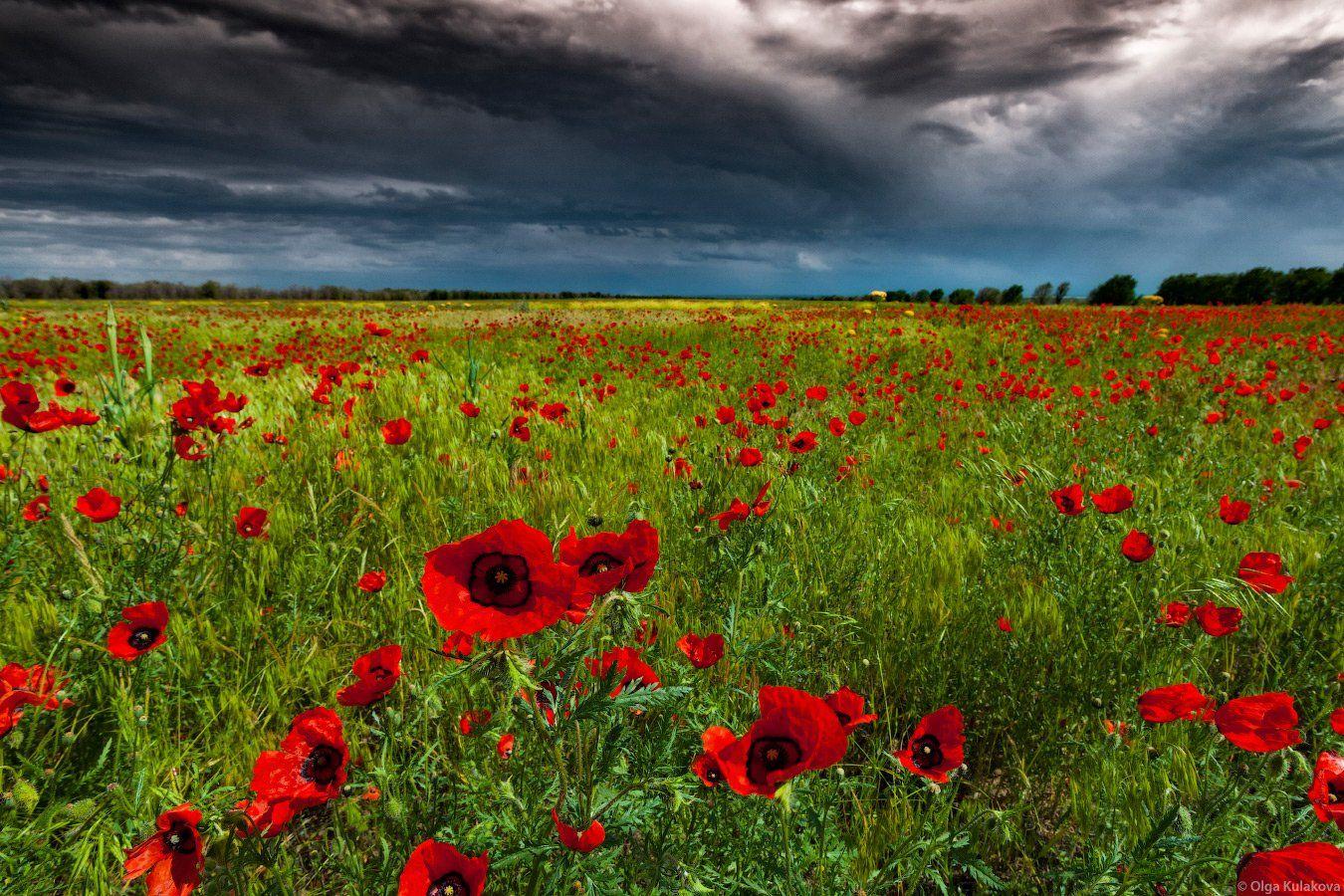 пейзаж, маки, поле, цветы, вечер, гроза, Ольга Кулакова