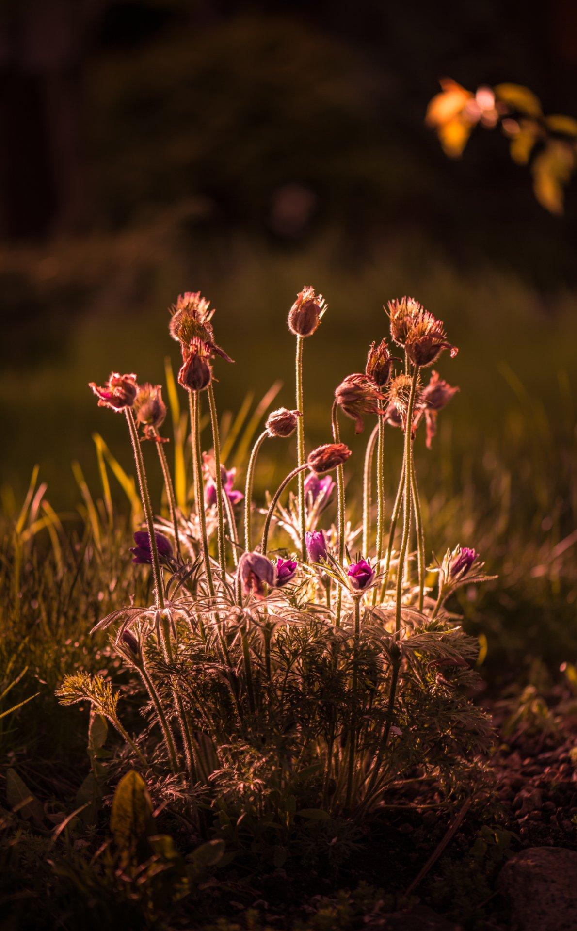 природа, макро, весна, цветы, прострел, сон-трава, Неля Рачкова