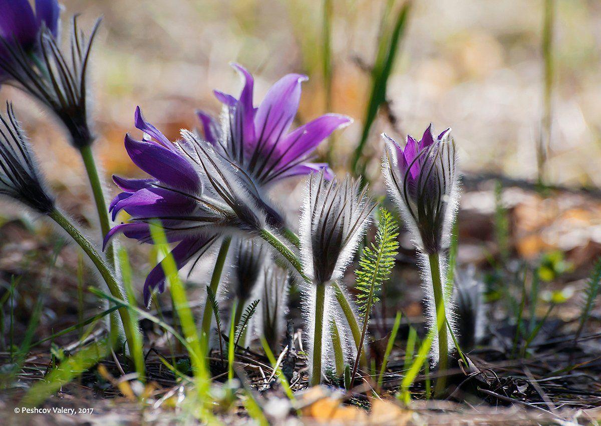 весна, лес, сон-трава, прострелы, мещёра, рязанская область, Валерий Пешков