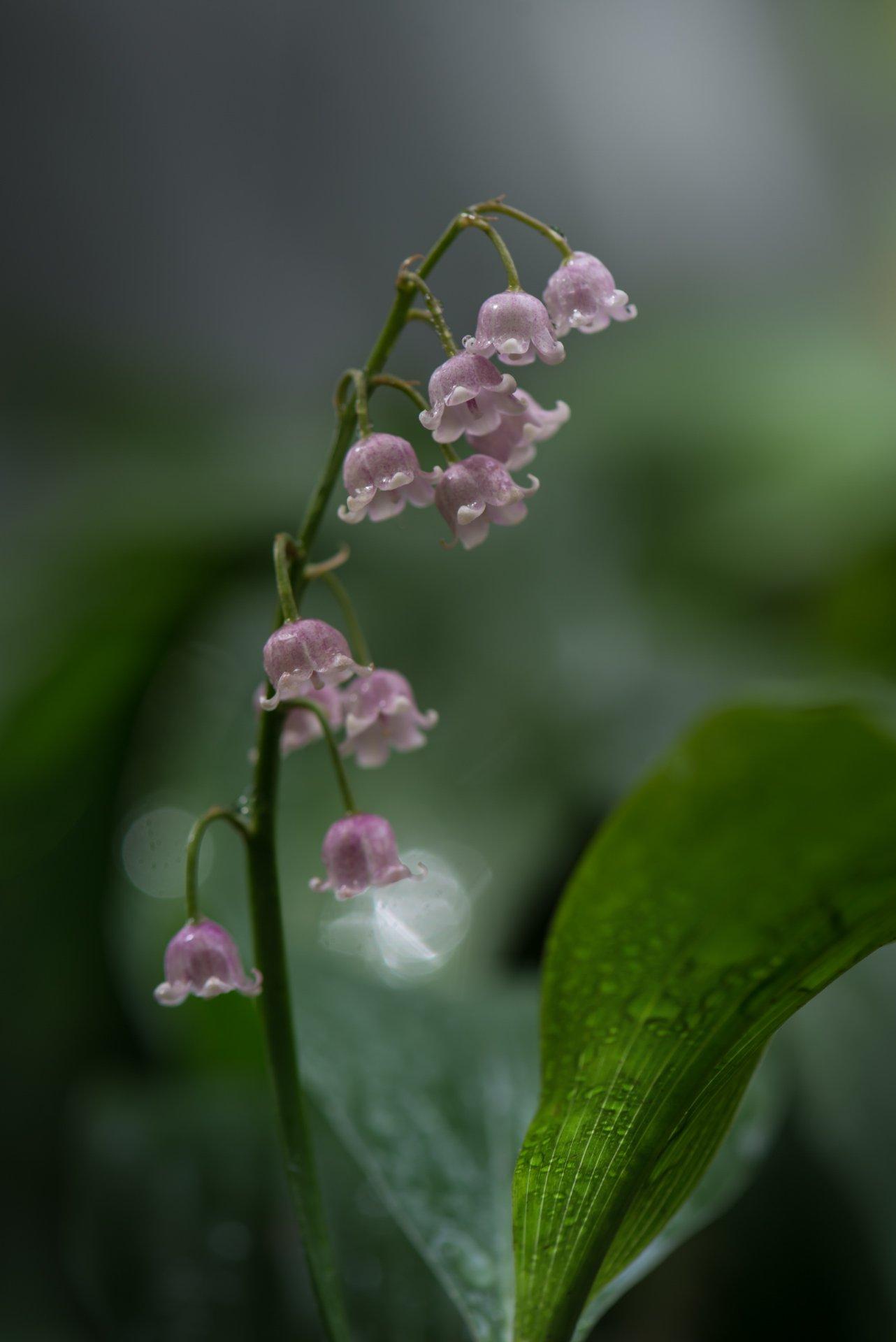 природа, макро, весна, цветы, розовый ландыш, капли дождя, Неля Рачкова