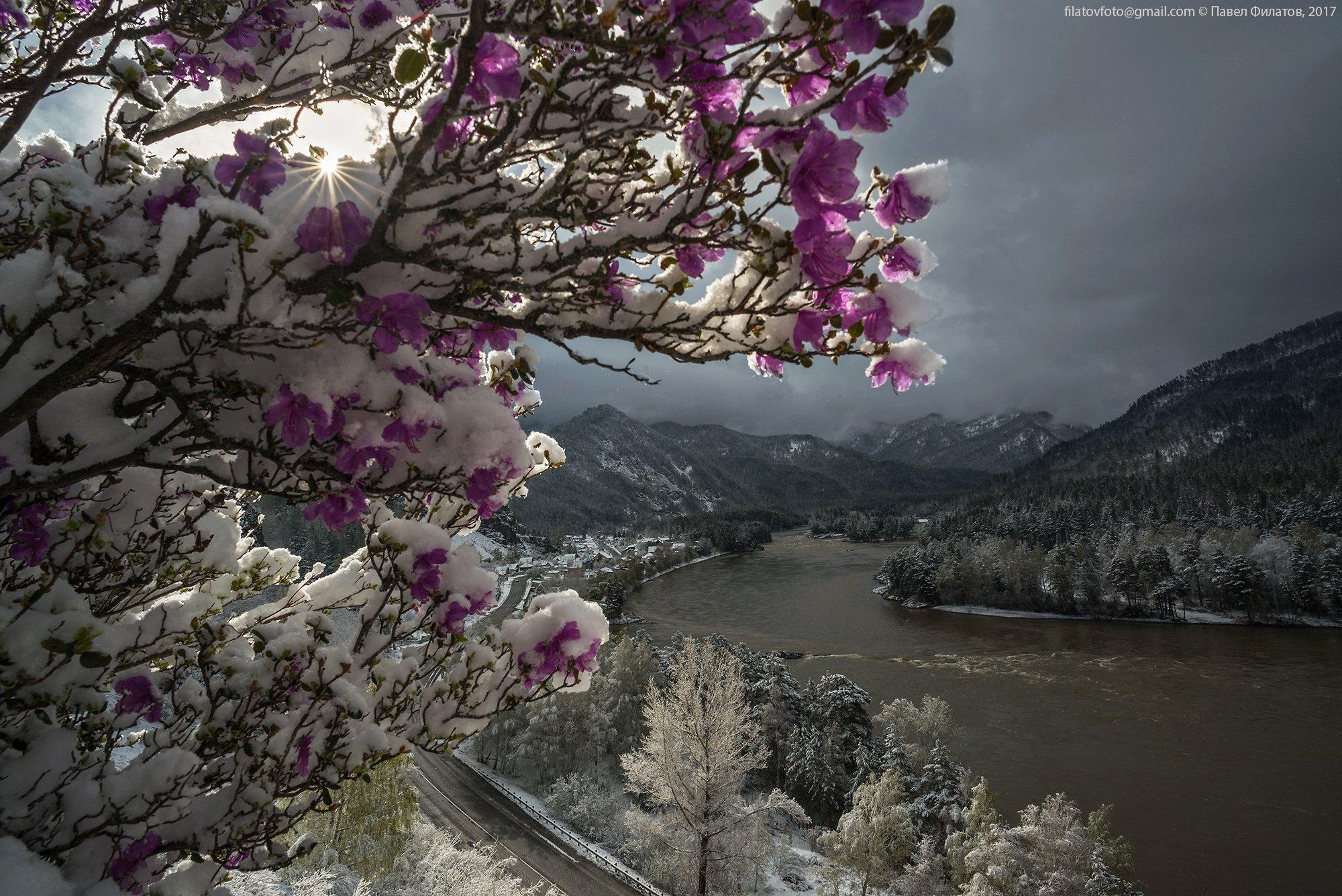 #алтай_чудеса_природы #алтай #сибирь #siberia #павел_филатов #pavel_filatov #filatovpavelaltai #маральник #снег #май #рододендрон_ледебура #весна #altai #snow #rhododendron #spring, Павел Филатов