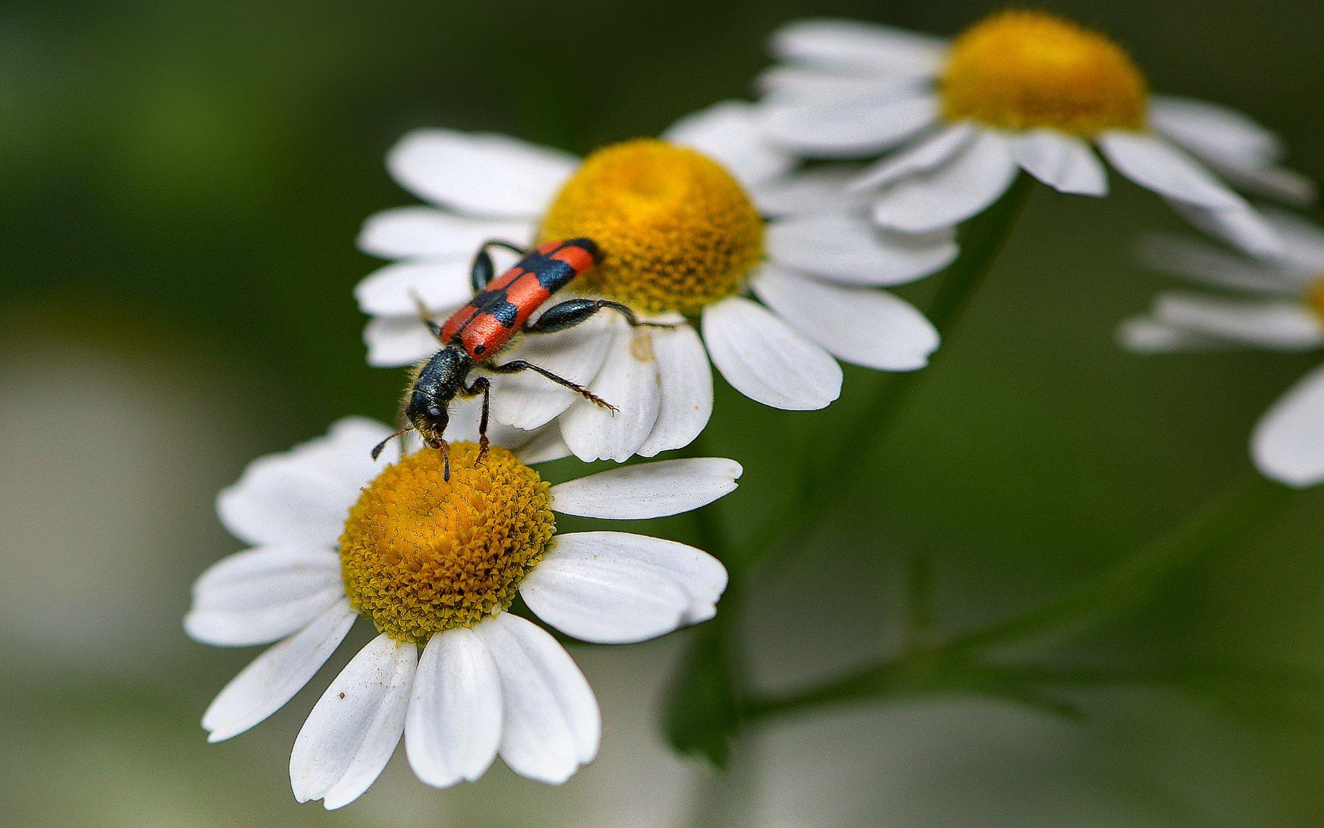 природа, макро, цветы, ромашка, насекомое, жук, пестряк пчелиный, Неля Рачкова