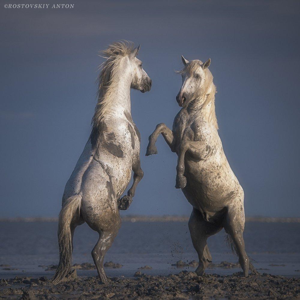 Камарг, фототур, Франция, жеребцы, кони, бой, противостояние, Антон Ростовский