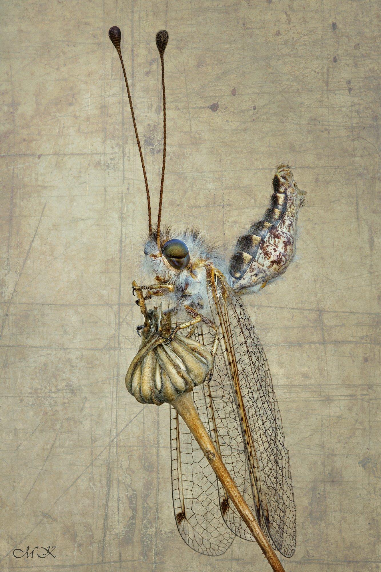 аскалаф, bubopsis andromache, Miron Karlinsky