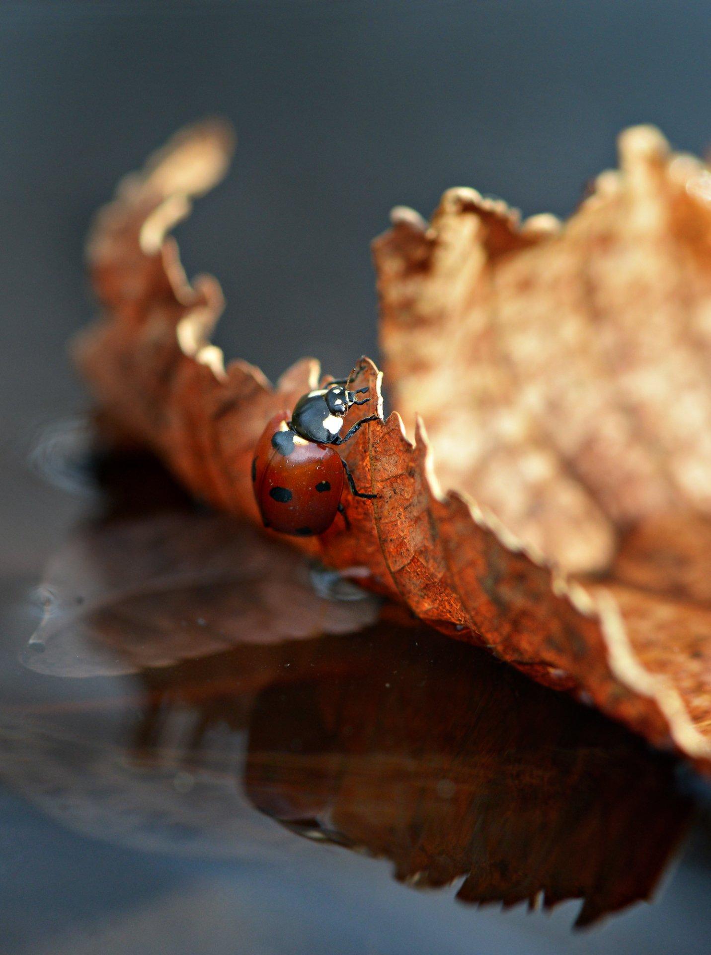 природа, макро, осень, опавший лист, вода, плавсредство, насекомое, божья коровка, Неля Рачкова