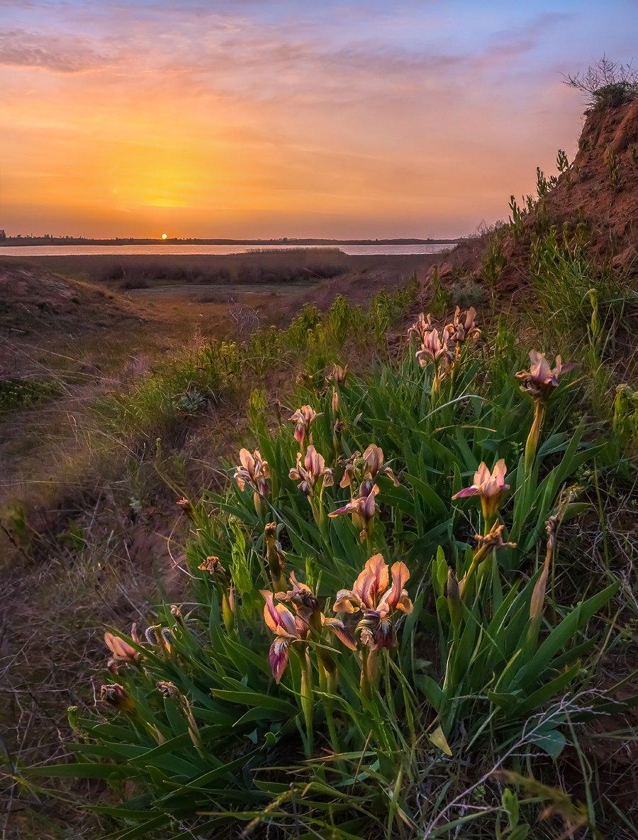 ирисы, весна, степь, рассвет, цветы, облака, астраханская область,, Лашков Фёдор