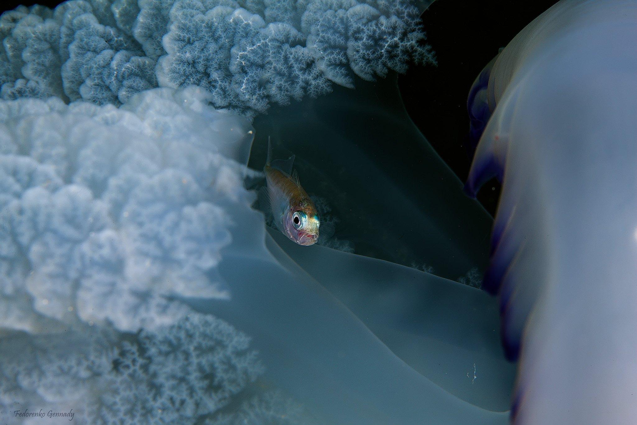 малек ставридки в щупальцах медузы корнерота., Fedorenko Gennady