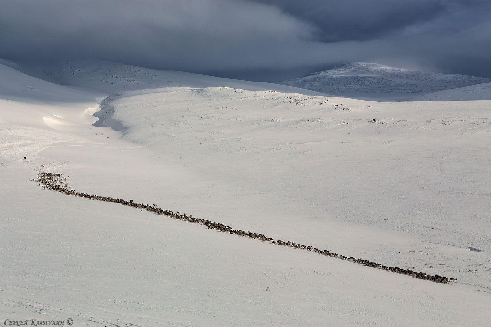 олени, стадо, полярный урал, зима, Сергей Карпухин