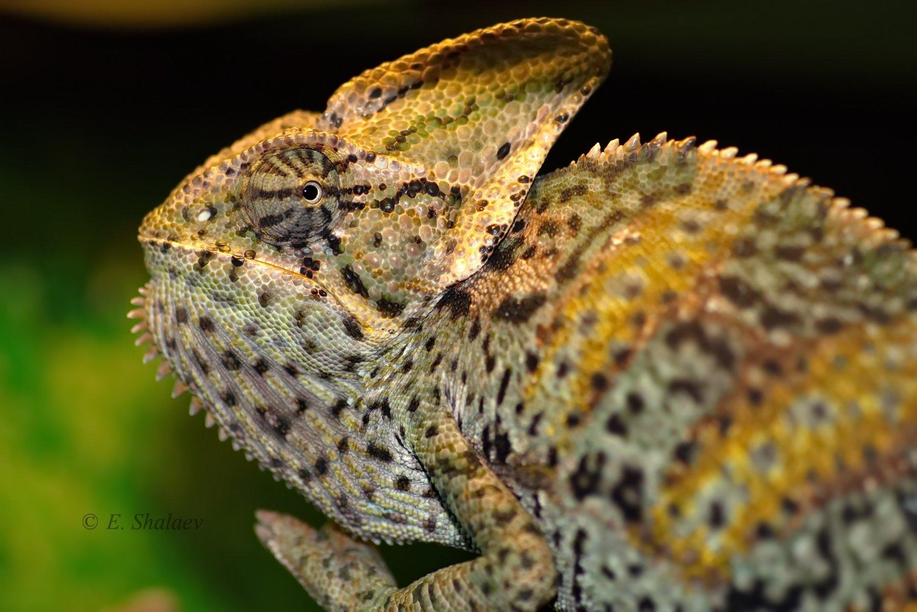 йеменский хамелеон,chamaeleo calyptratus,lizards,reptilia,рептилии,хамелеон,ящерица, Евгений