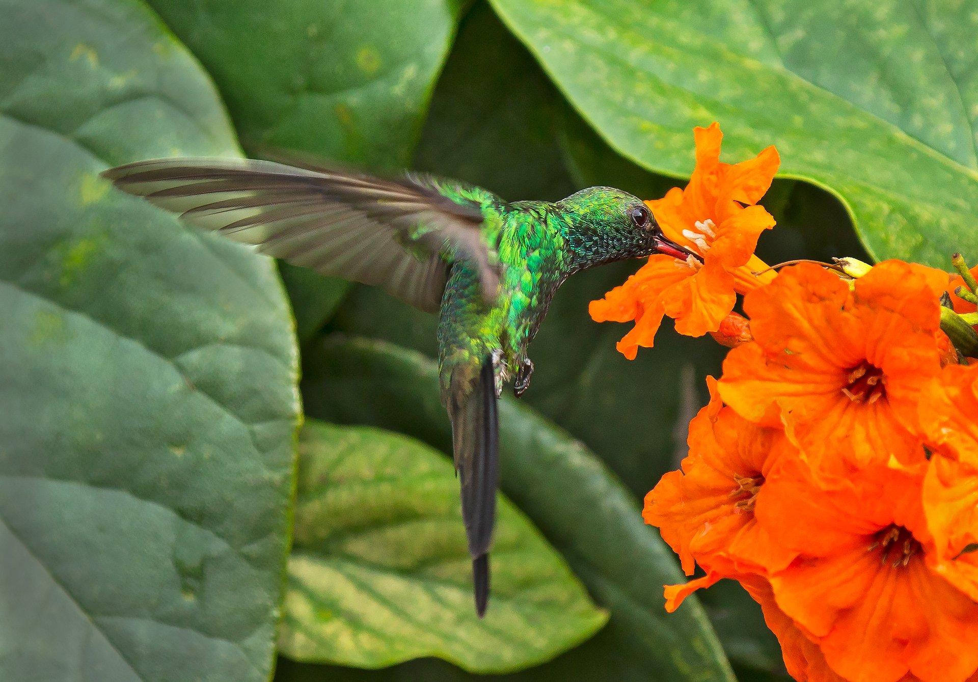 cuban emerald, hummingbird, cuba, flowers, nectar, кубинский изумрудный колибри, колибри, куба, цветы, нектар,, G A S