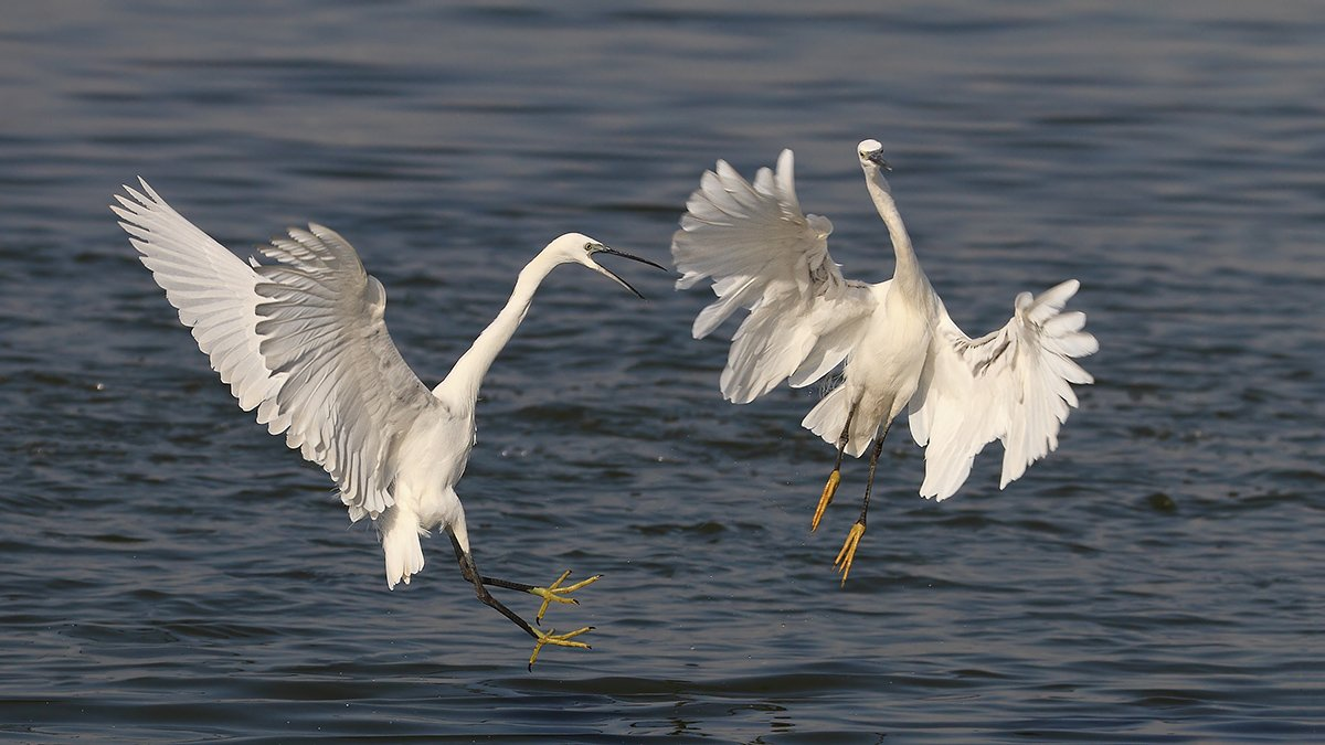 animals, birds, heron, wildlife, животные, птицы, цапли, драка, природа, Yuri Gomelsky