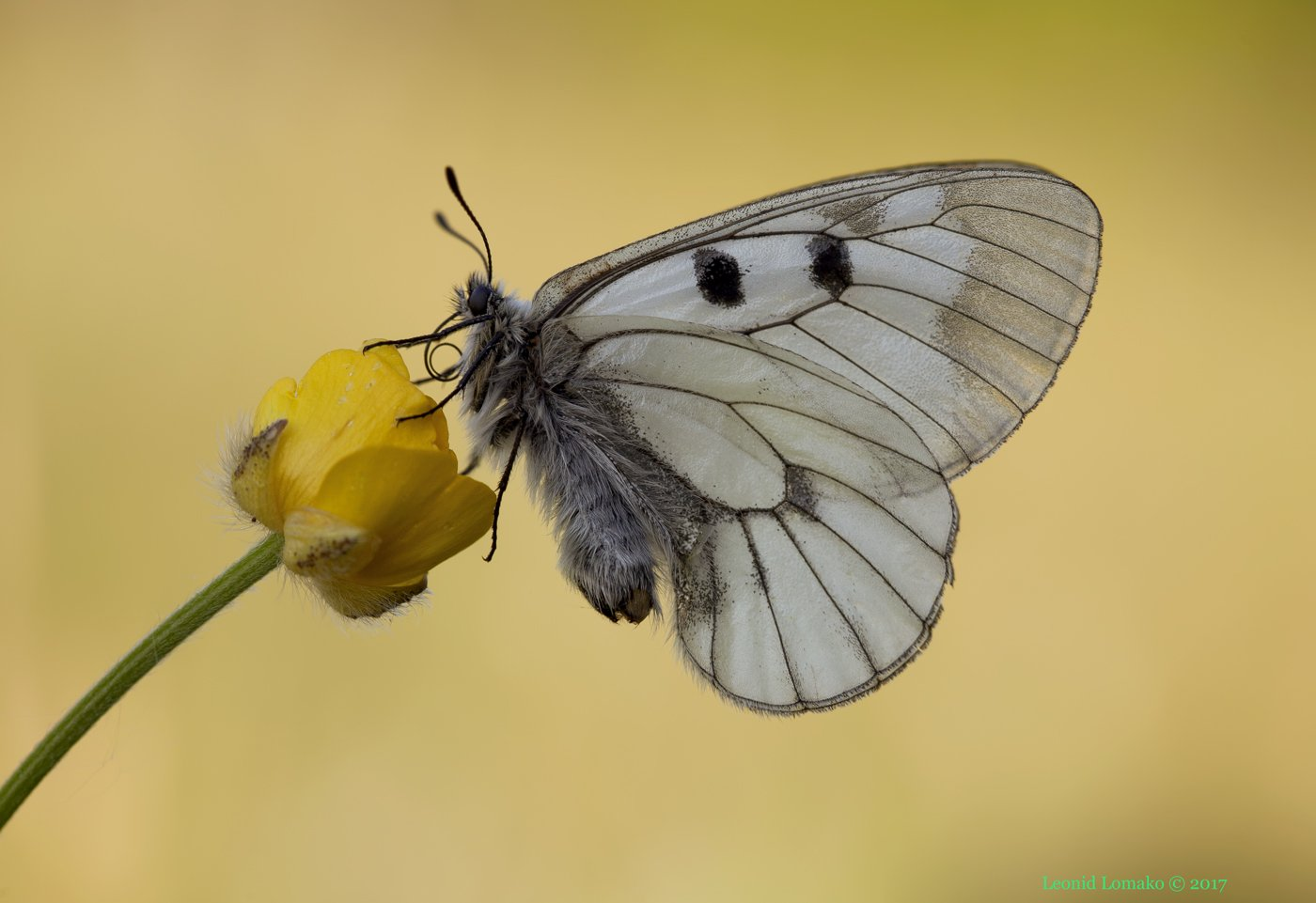 мнемозина, аполлон, бабочка, Леонид