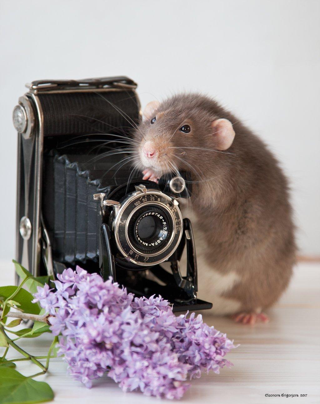 крыса, дамбо, домашнее животное, декоративная, винтаж, фотокамера, фотограф, фотография, крысиные истории, Eleonora Grigorjeva