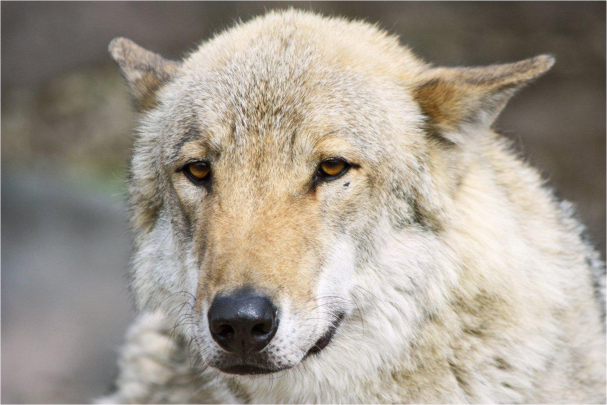 волк, КарОл