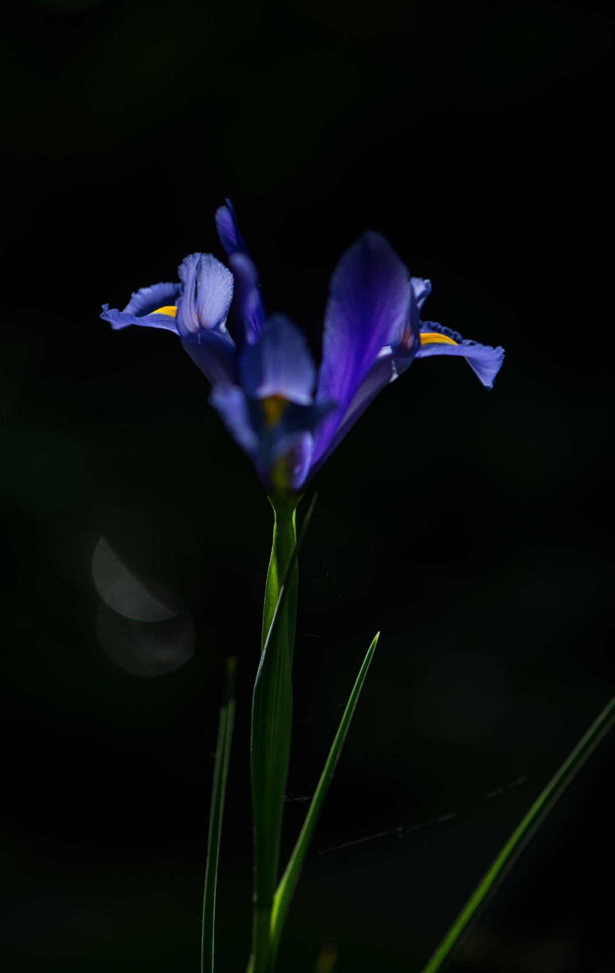 природа, макро, цветы, ирис,, Неля Рачкова