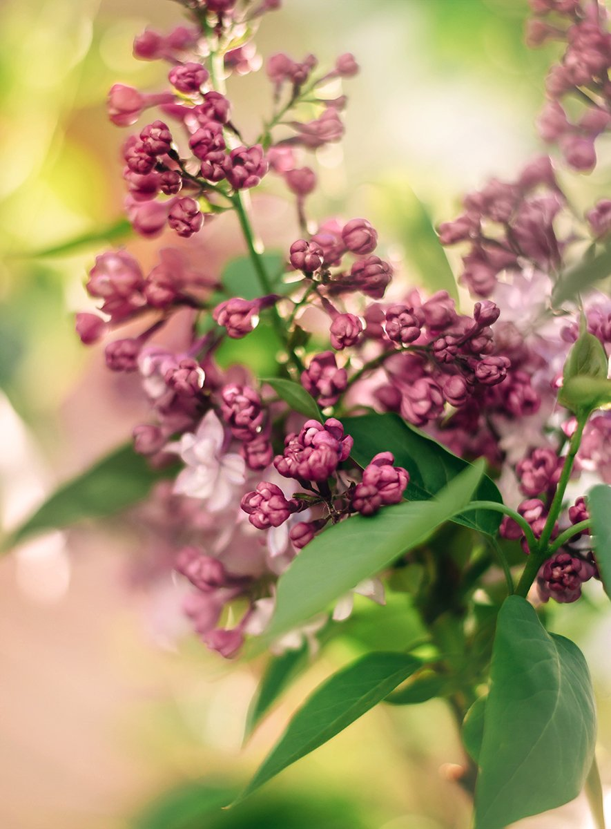 цветы весна макро сирень, Чернякова Анна