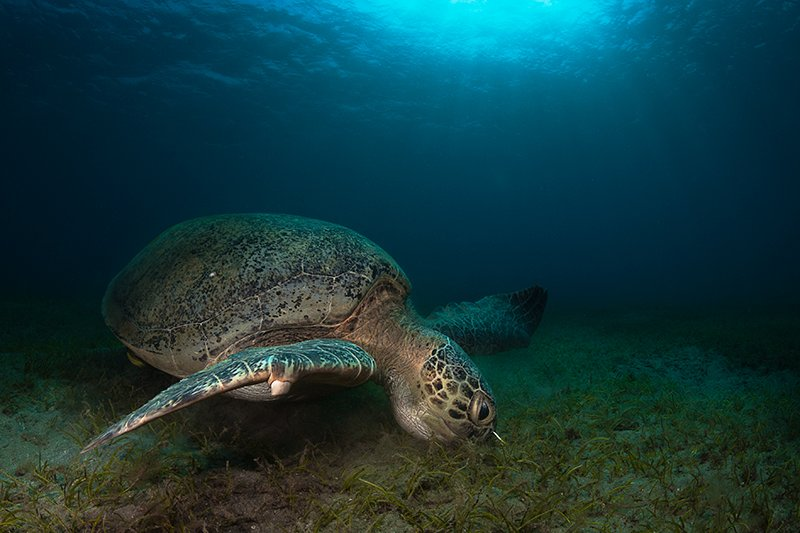 черепаха, красное море, подводная съемка, солнце, вода, Natalia Semko