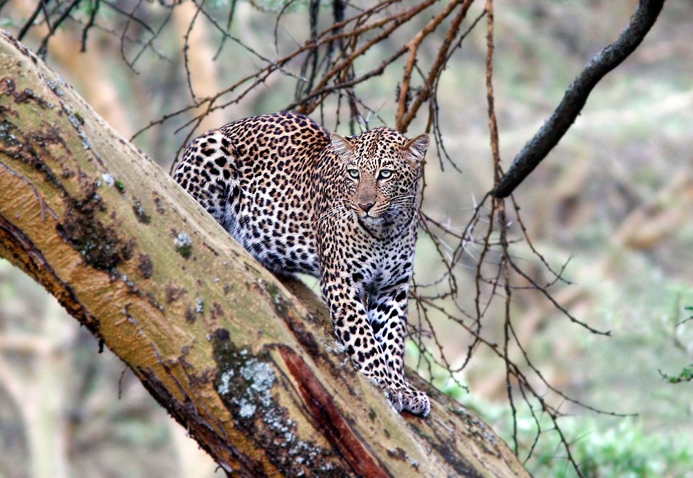леопард, фотоохота, кения, Kostin Max
