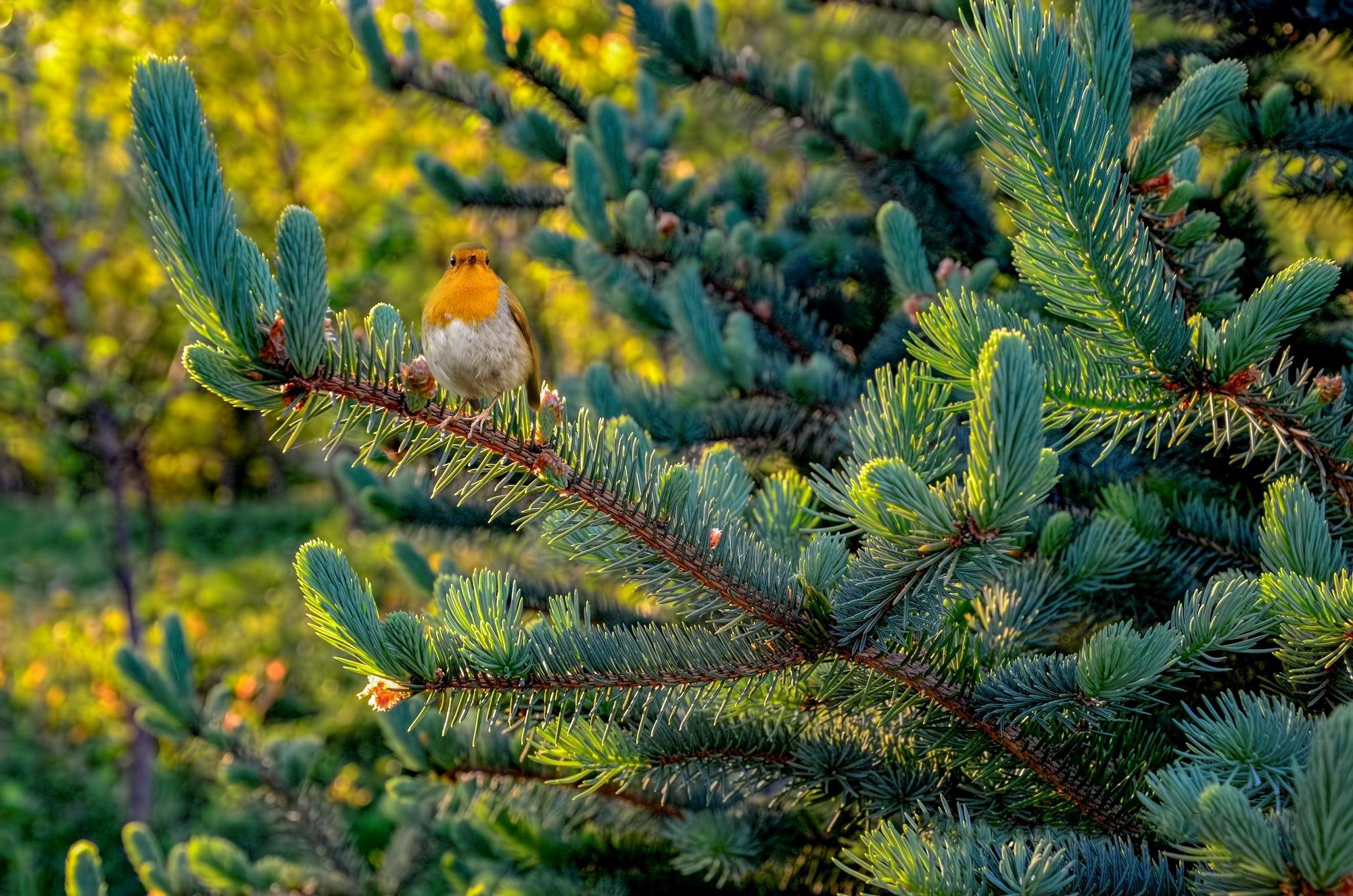 ель,птичка,лето.солнечные блики., Nataliorion