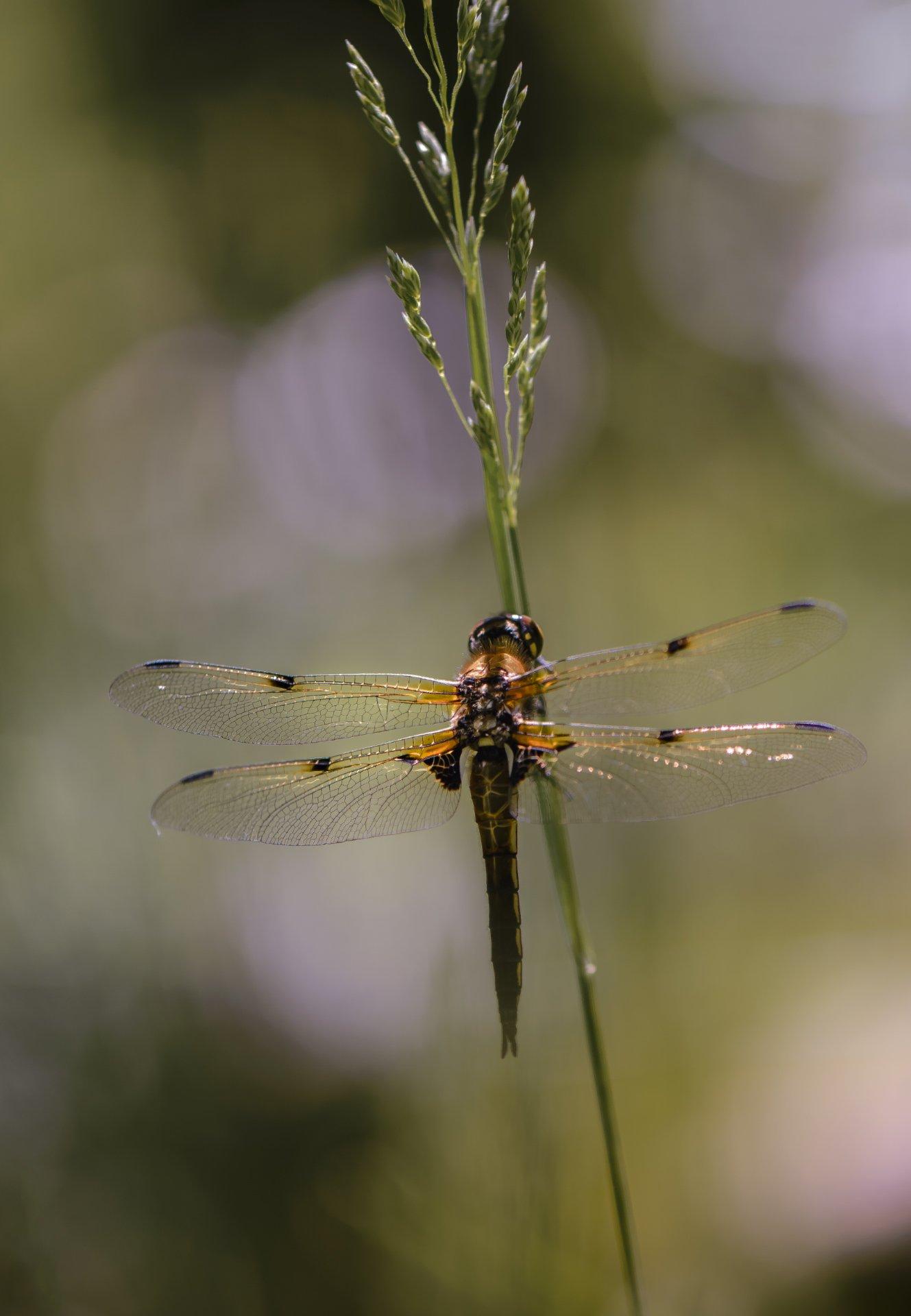 природа, макро, насекомое, стрекоза,, Неля Рачкова