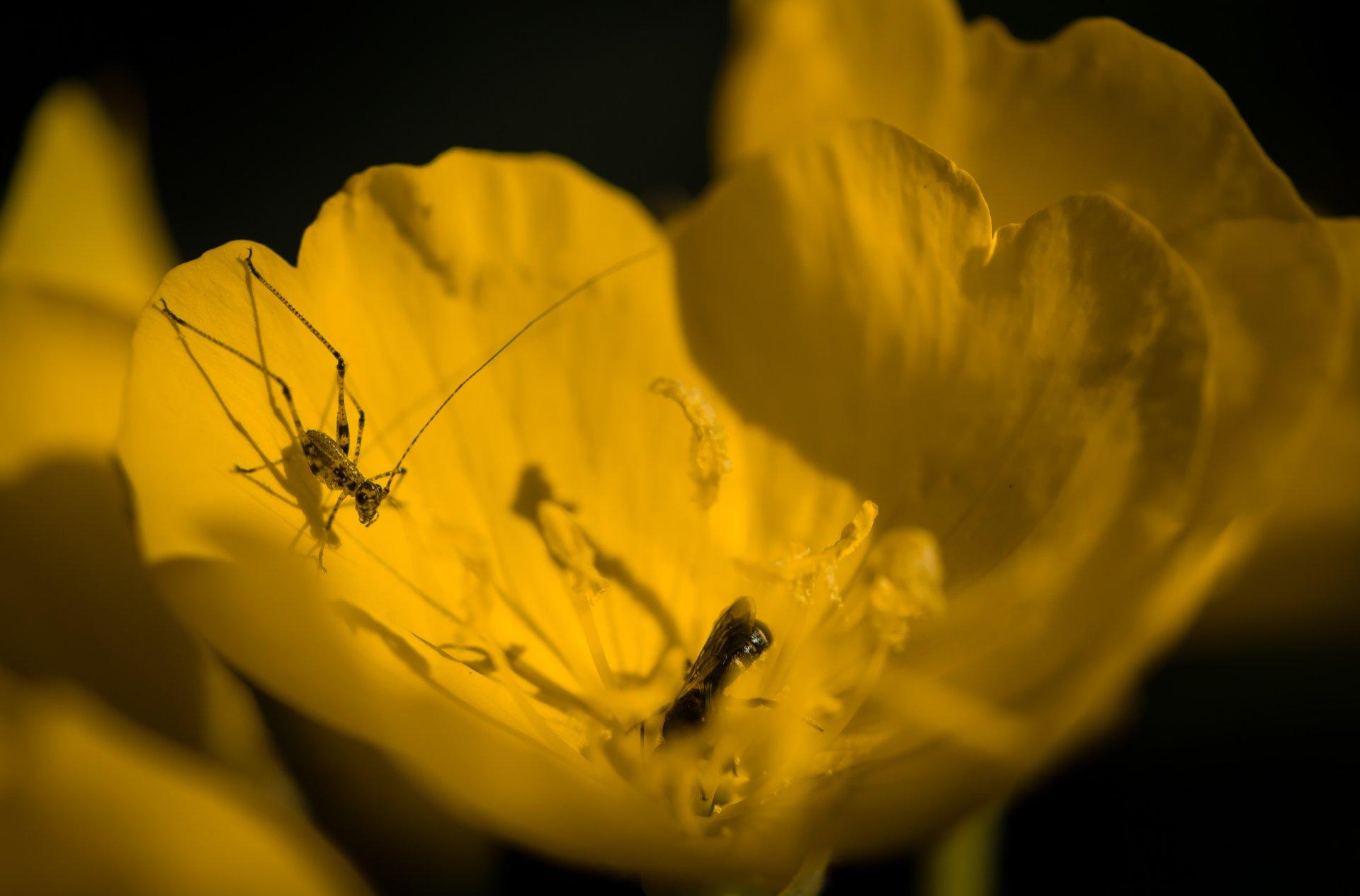 природа, макро, насекомые, кузнечик, пчелка, цветы, энотера, Неля Рачкова