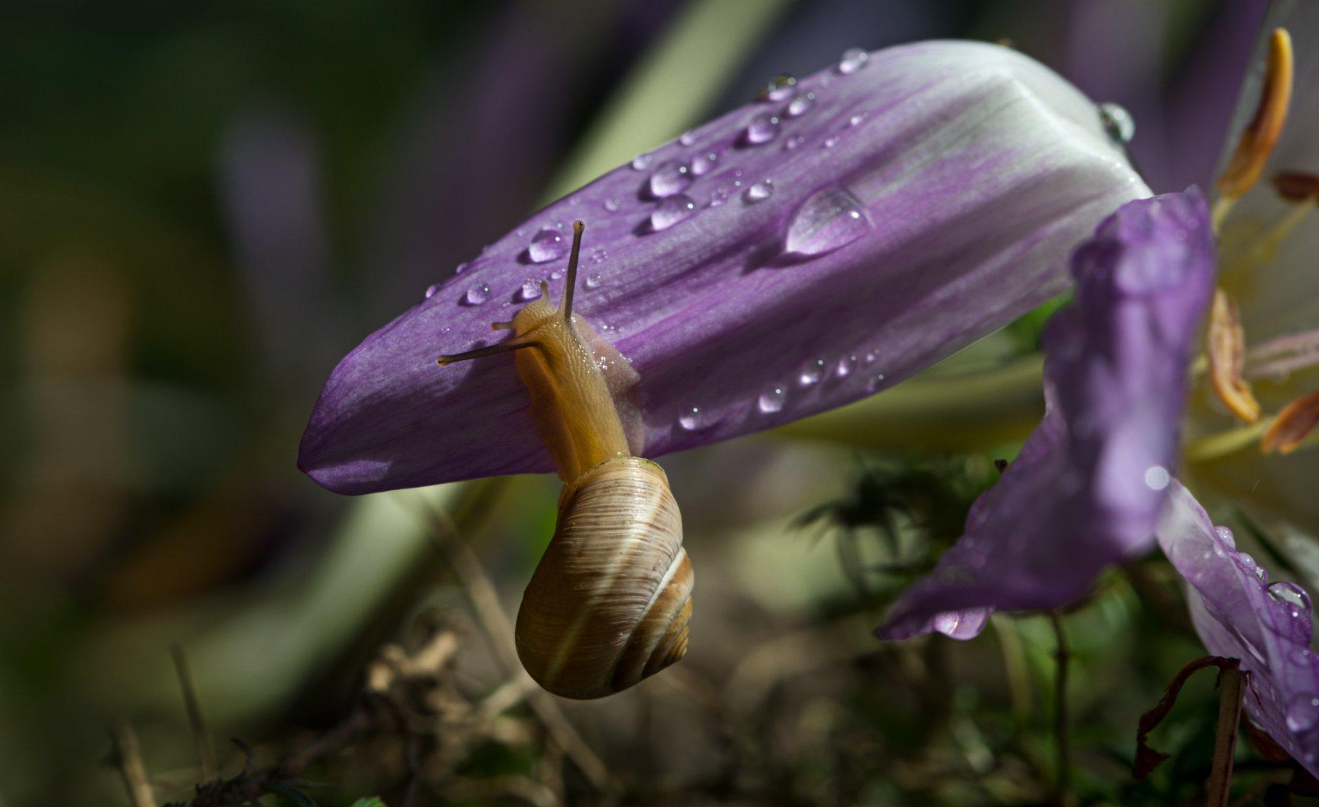 природа, макро, цветок, безвременник, улитка, капли дождя, Неля Рачкова