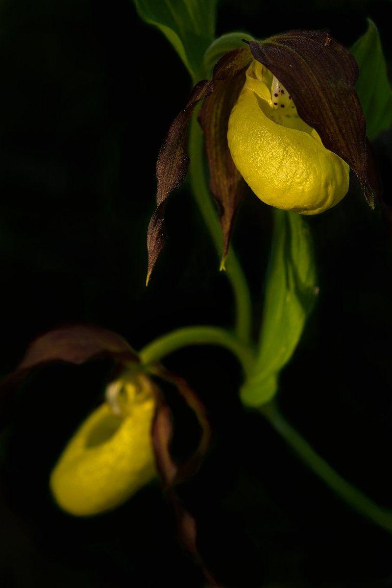 венерин, башмачок., орхидеи, Кузнецов Сергей