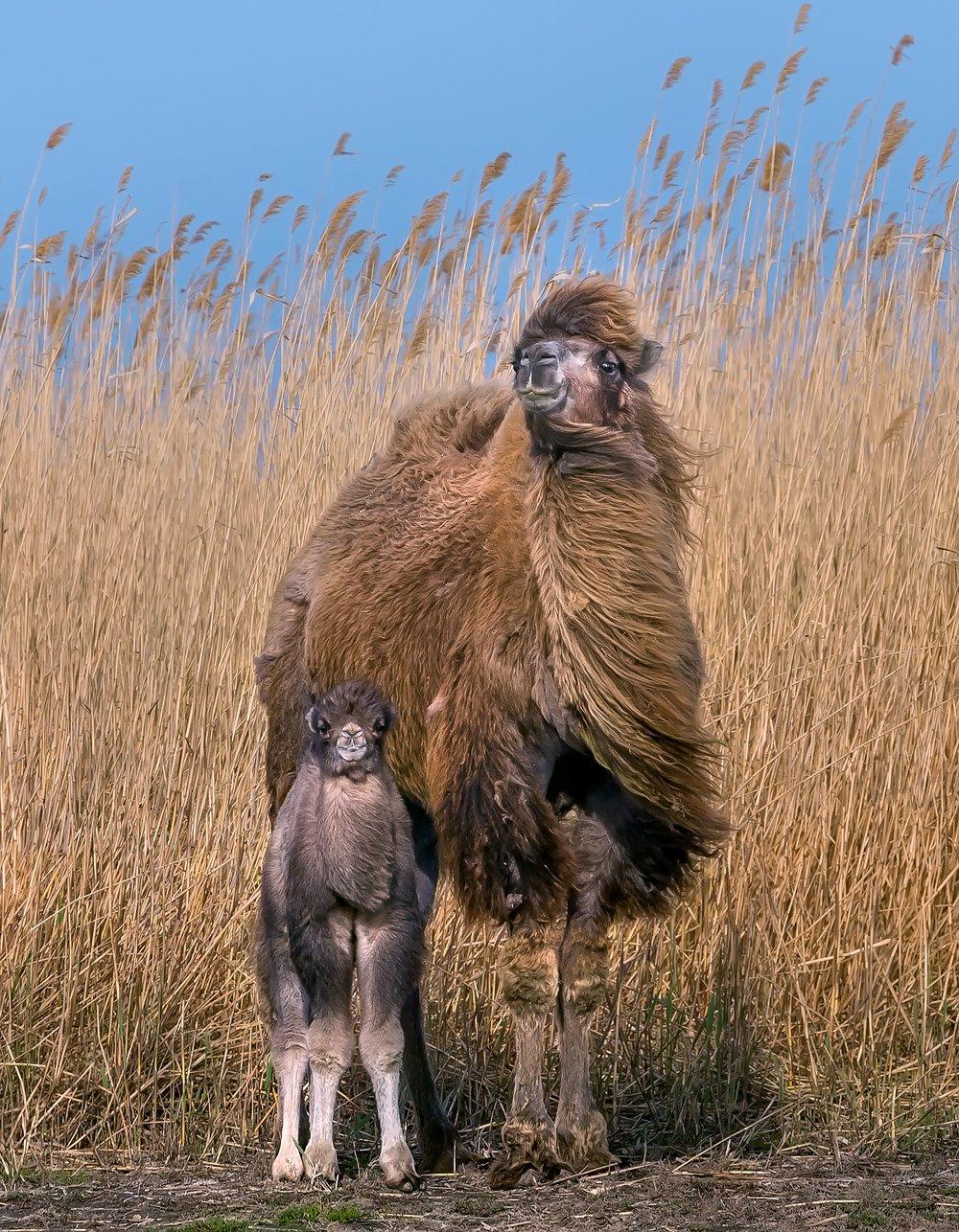 верблюд, степь, весна, астраханская область, животные, малыш, камыш, тростник., Лашков Фёдор