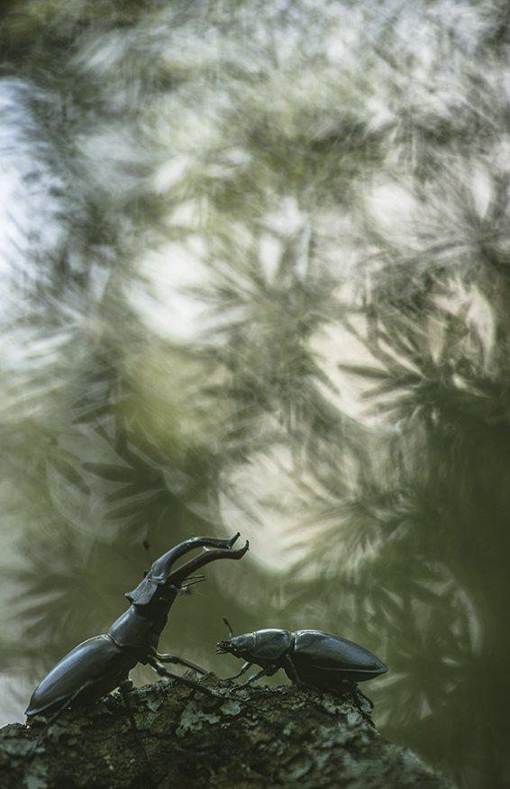 жуки, самец, самка, олени, красота, воронеж,, Геннадий Мещеряков