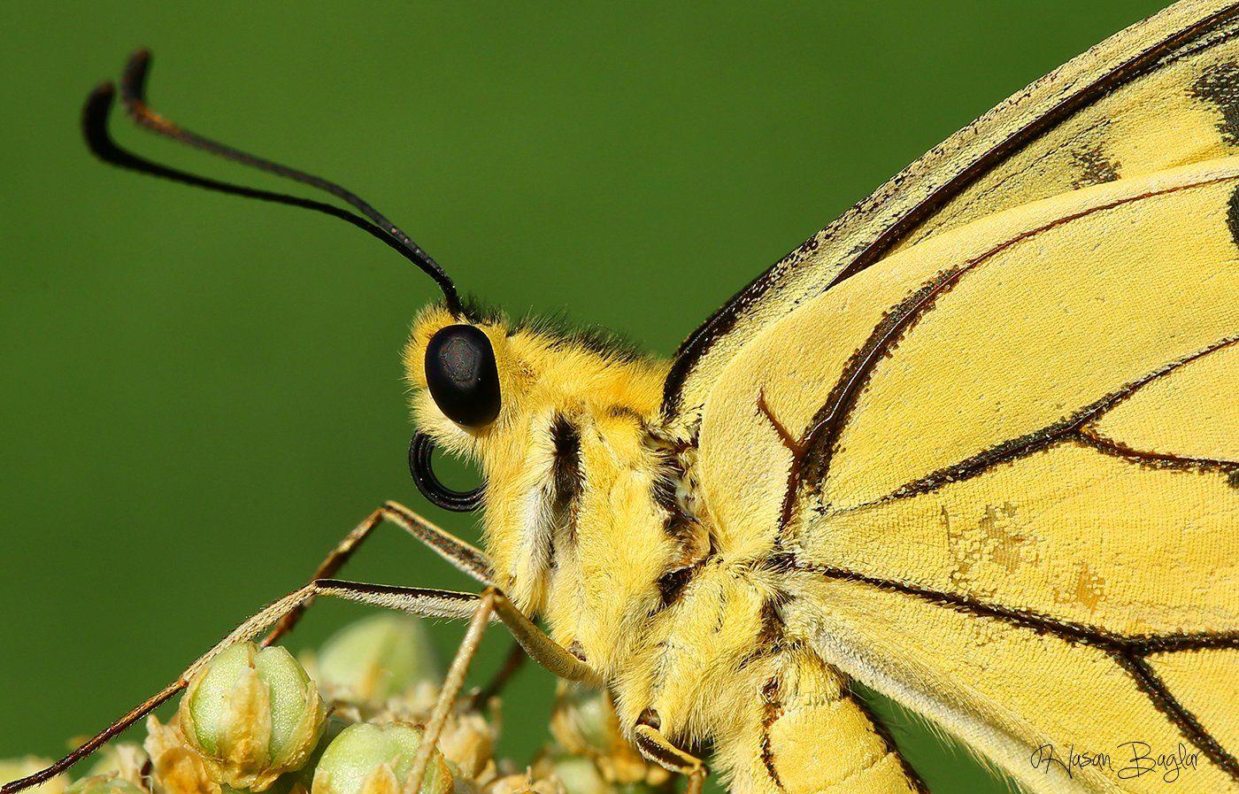 #swallowtail#butterfly#macro#nature#northcyprus, Hasan Baglar