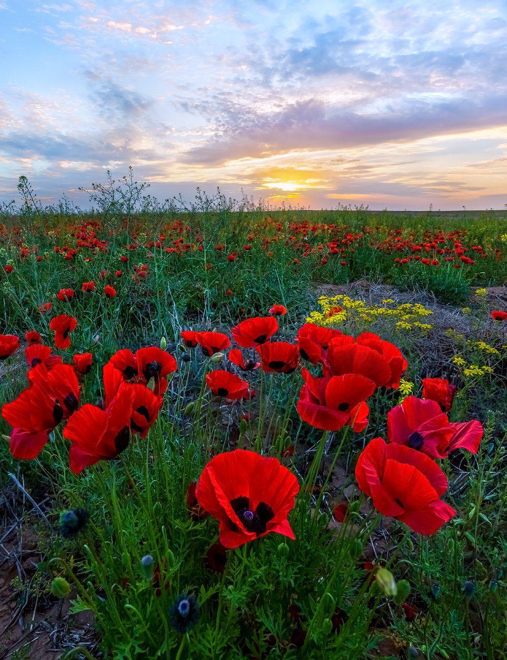 маки, степь, весна, астраханская область, нижние поволжье, весенний закат, солнца, цветы, трава, облака,, Лашков Фёдор