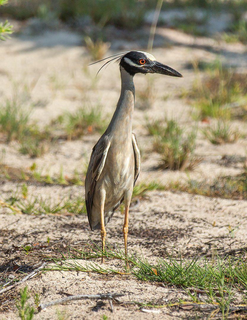 yellow-crowned night heron, cuba, bird, желтоголовая кваква, куба, птица, G A S