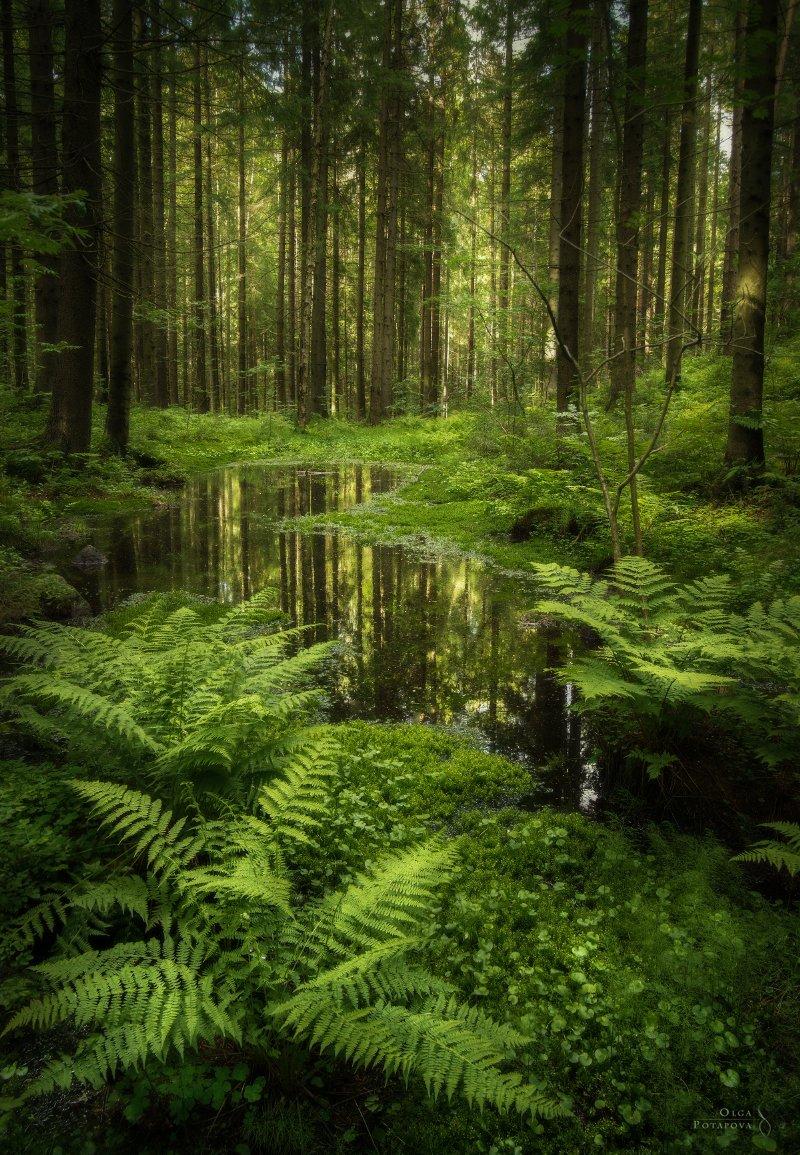 лес,токсово, ленинградская область, папоротник, зелень, мох, Ольга Потапова