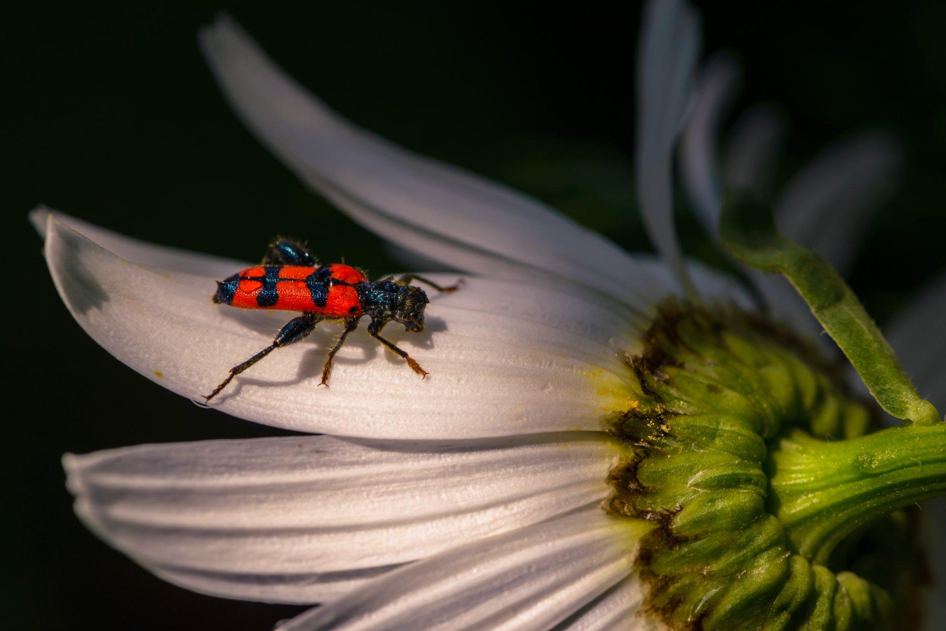 природа, макро, насекомое, жук, пестряк пчелиный, цветок, ромашка, Неля Рачкова