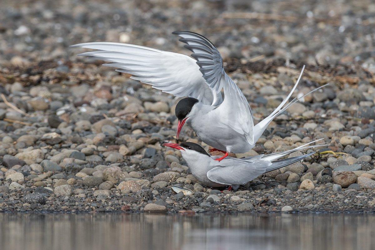 Birder's Corner, Arctic Tern, Sterna paradisaea, bird, wildlife,, Dominik Chrzanowski