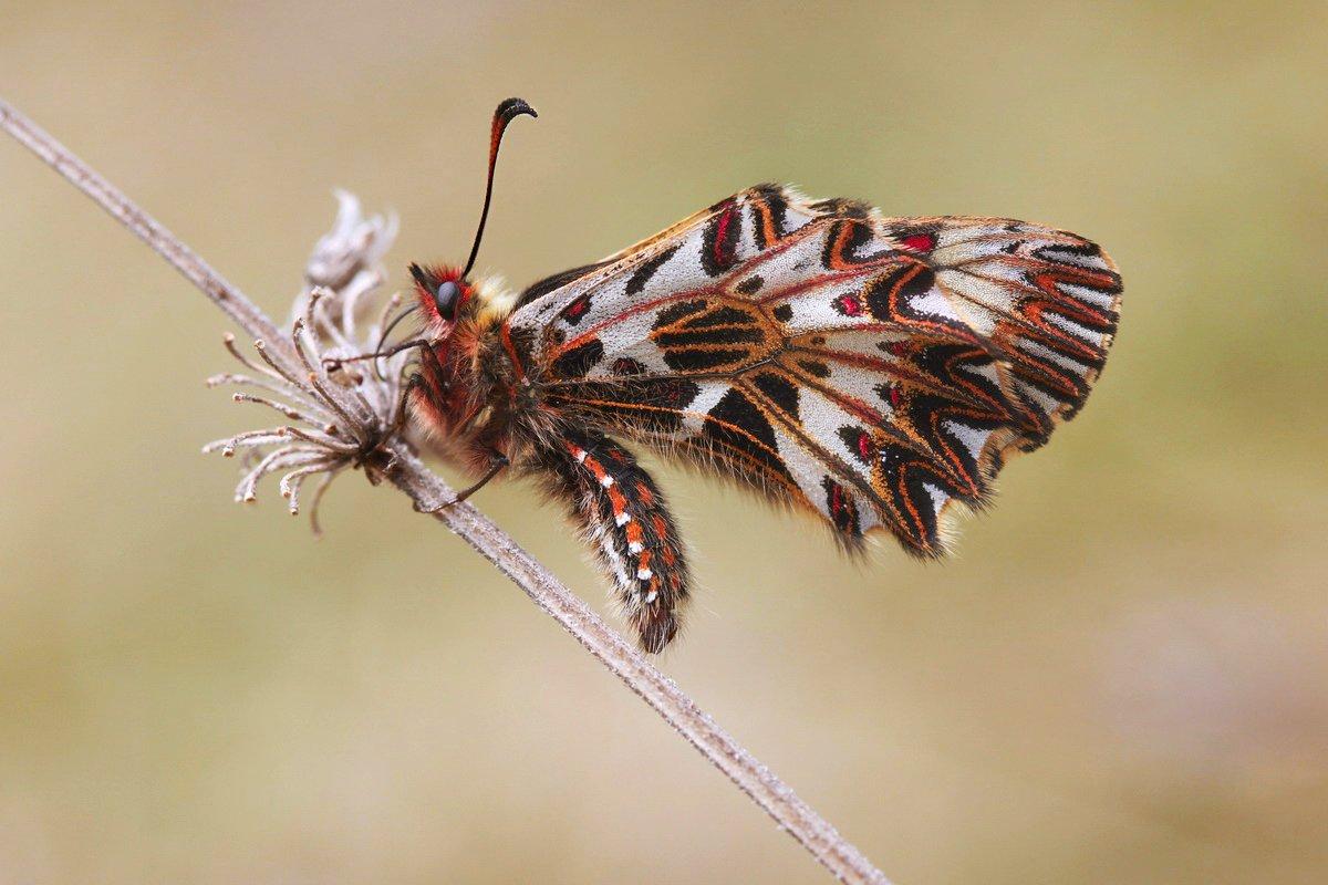 поликсена,  zerynthia polyxena, парусник, бабочка, Леонид