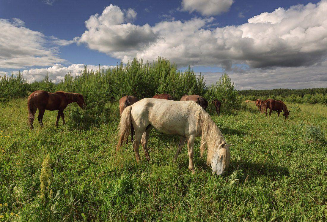 Поле трава лошади лес облака лето Удмуртия, Георгий Машковцев