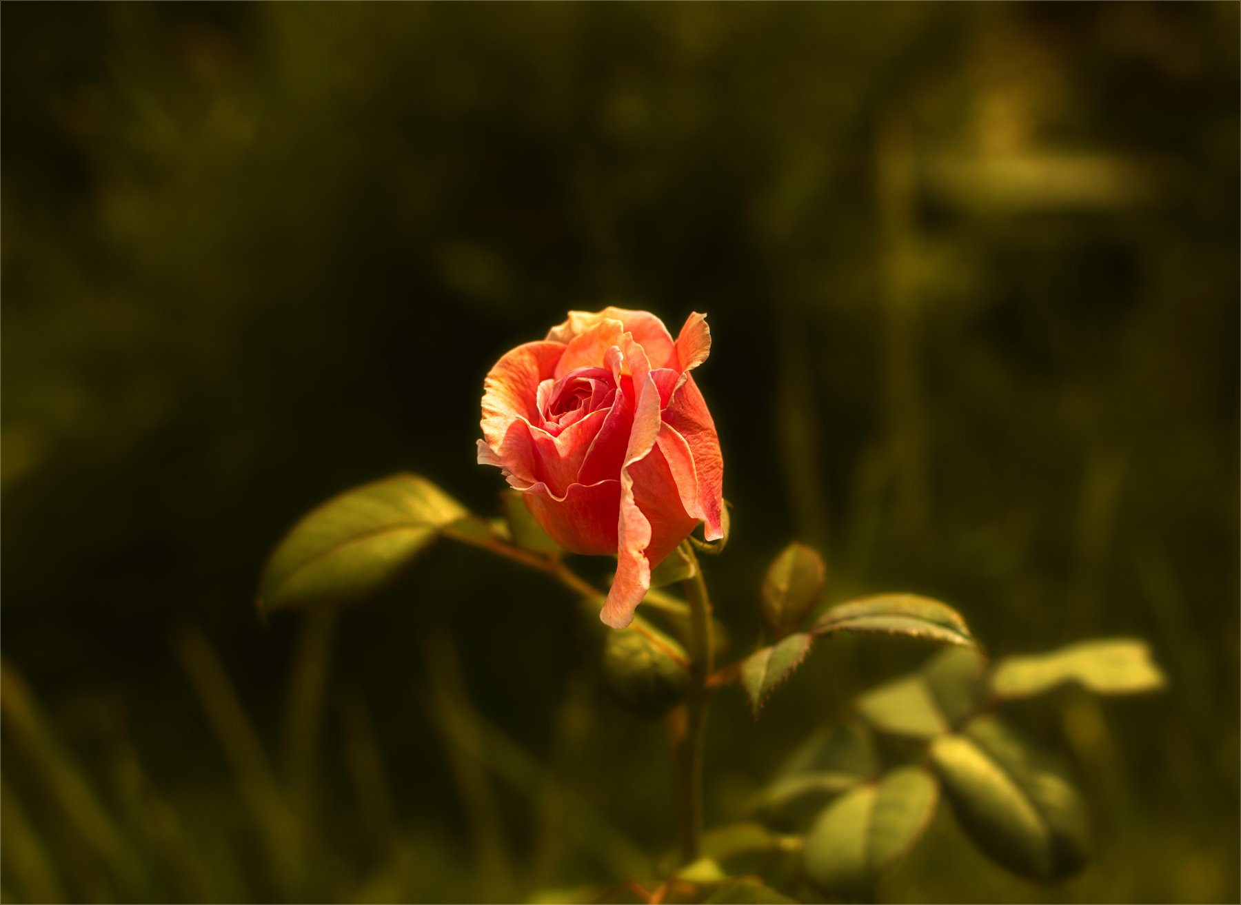 nature, природа,  цветы, роза, минимализм, растение, Михаил MSH