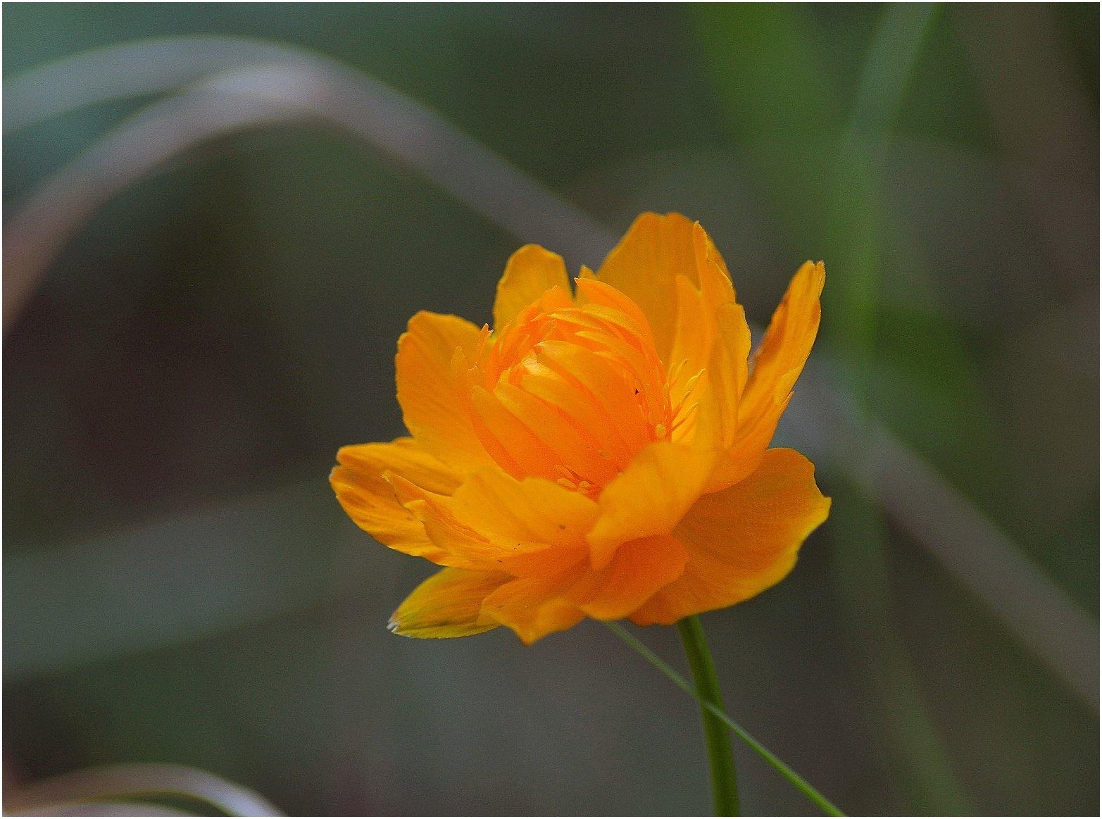 Таймыр,июль,цветы, Владимир