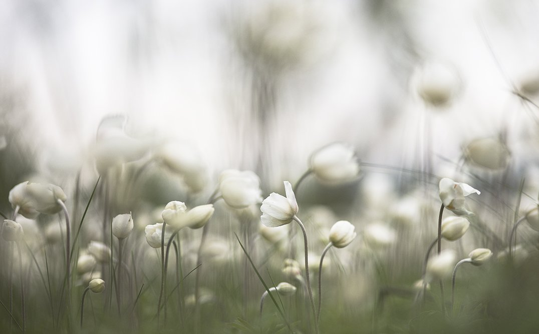 ветреница, свет, краски, цветок, цвет, весна, позитив, воронеж, Геннадий Мещеряков