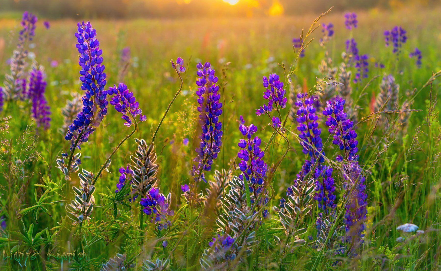 природа, лето, закат, вечерний свет, люпин, цветы, Лидия Киприч