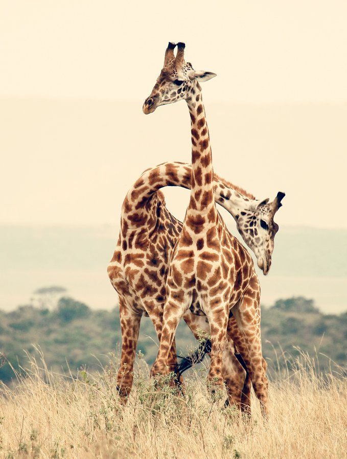 жираф, кения, африка, Kostin Max