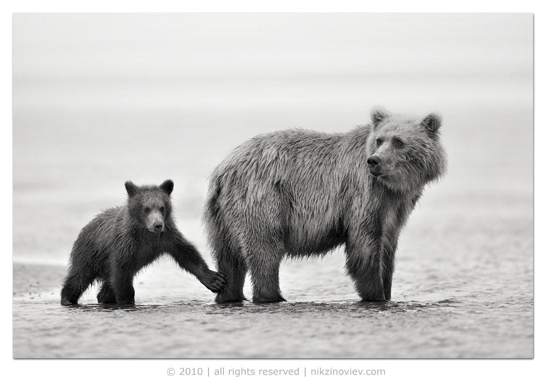медведи, мишки, аляска, сша, дикие животные, николай зиновьев, фотограф дикой природы, Николай Зиновьев