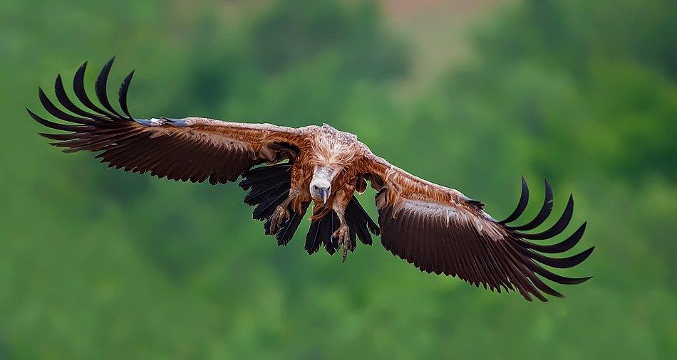 птицы, стервятник, грифон, Жечо Планински