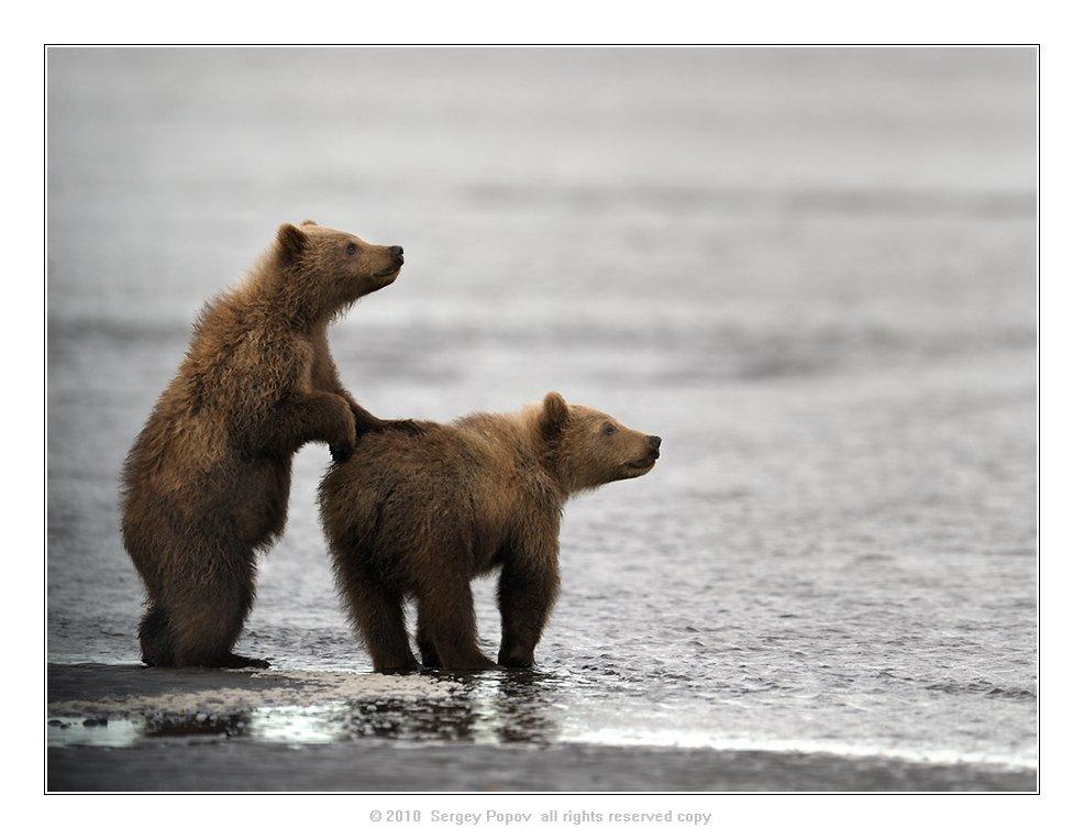 аляска, медвели, дикая природа, фотографии дикой природы, Попов Сергей