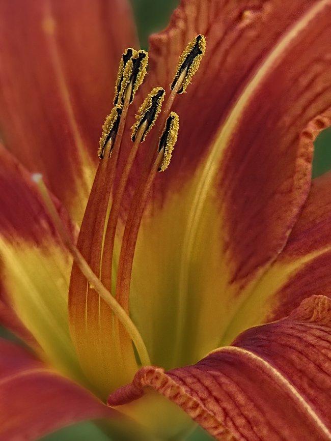 лилии, цветы, флора, ЦокоТушка