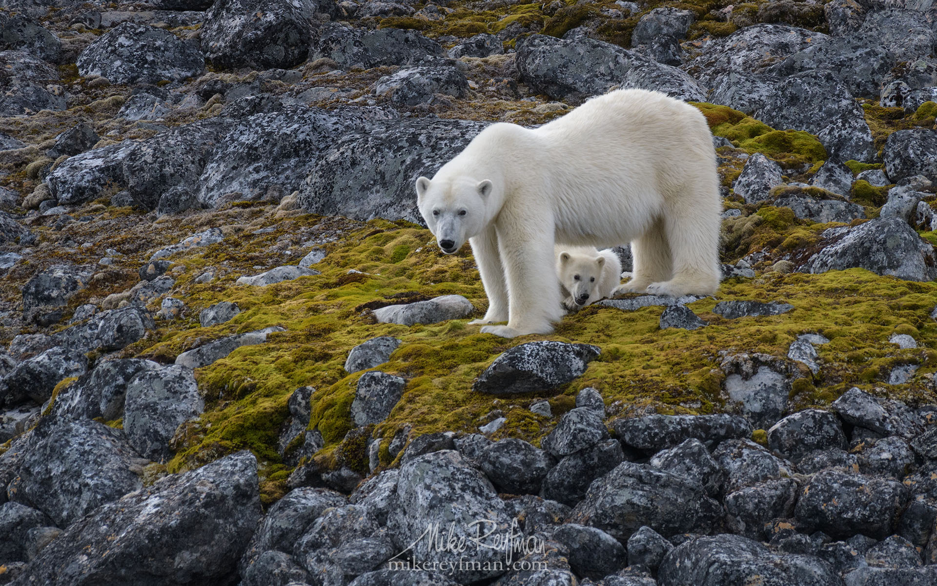 polarbears, nature, explorerverything, world, bears,  nature, photography, gothere,  ecotravel, ecotourism, animals, vacation,  arctic, svalbard, wildlife, marinelife, nature,  closeup, animals, Майк Рейфман