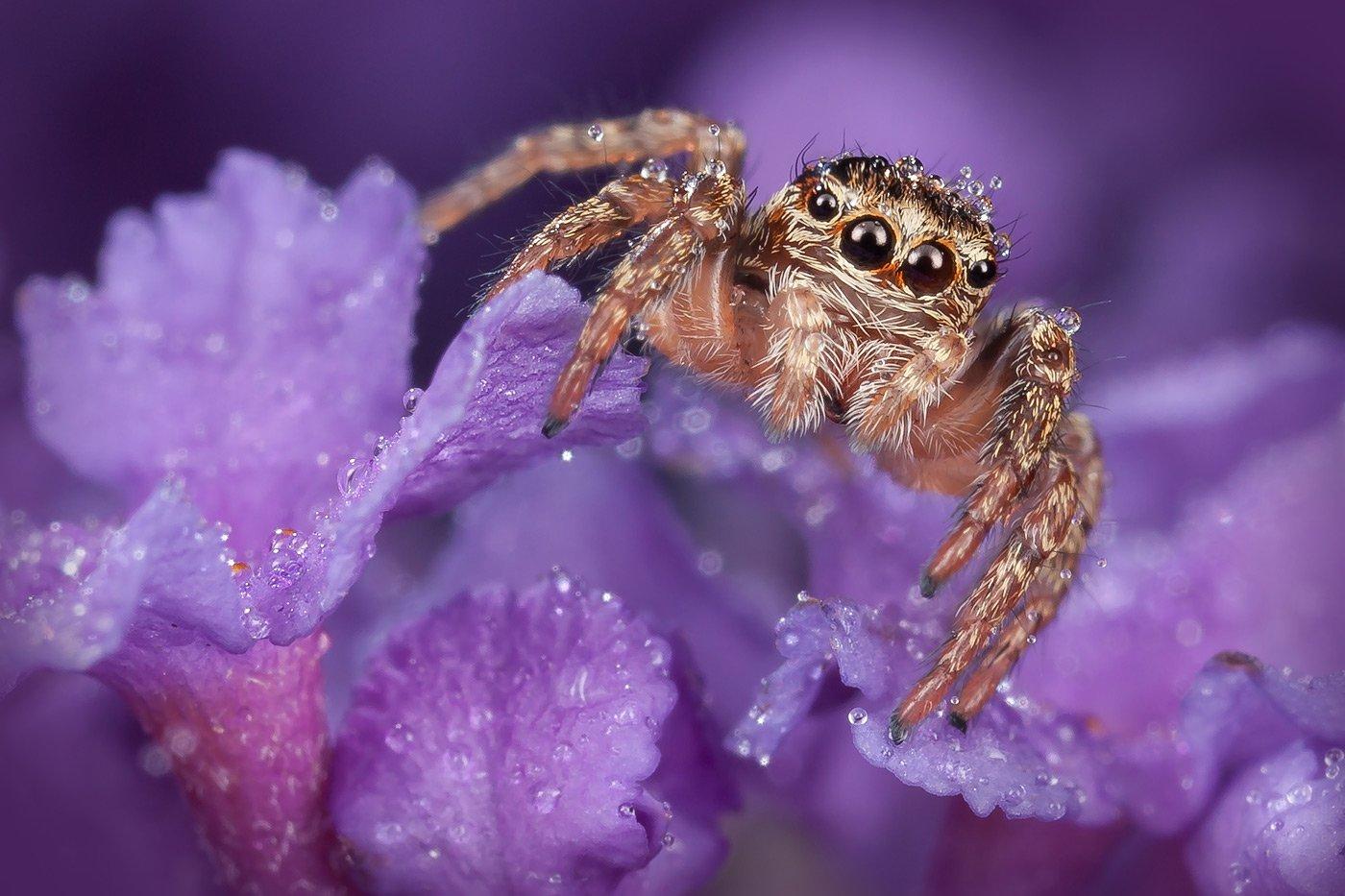 паук скакун, макро, цветы, макро,, Linas T