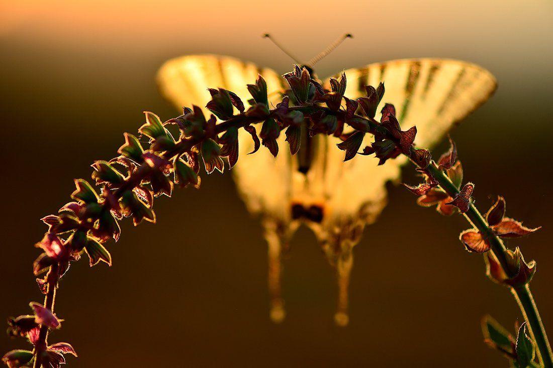 бабочка подалирий закат контровый сухоцвет шалфей, Алёна Шевцова